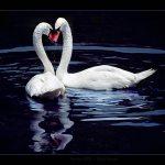 white-swans-ipad-wallpaper